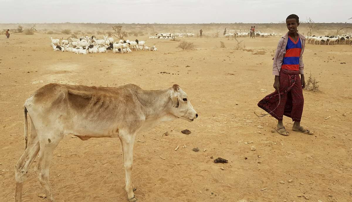 In this photo taken Sunday, Sept. 3, 2017, a child attends to his malnourished calf in the Danan district of the Somali region of Ethiopia, which hasn't seen significant amounts of rain in the past three years. Despite economic growth in the past decade that has made Ethiopia one of Africa's fastest-developing countries, rural areas are suffering as the nation faces its worst drought in years. (AP Photo/Elias Meseret)