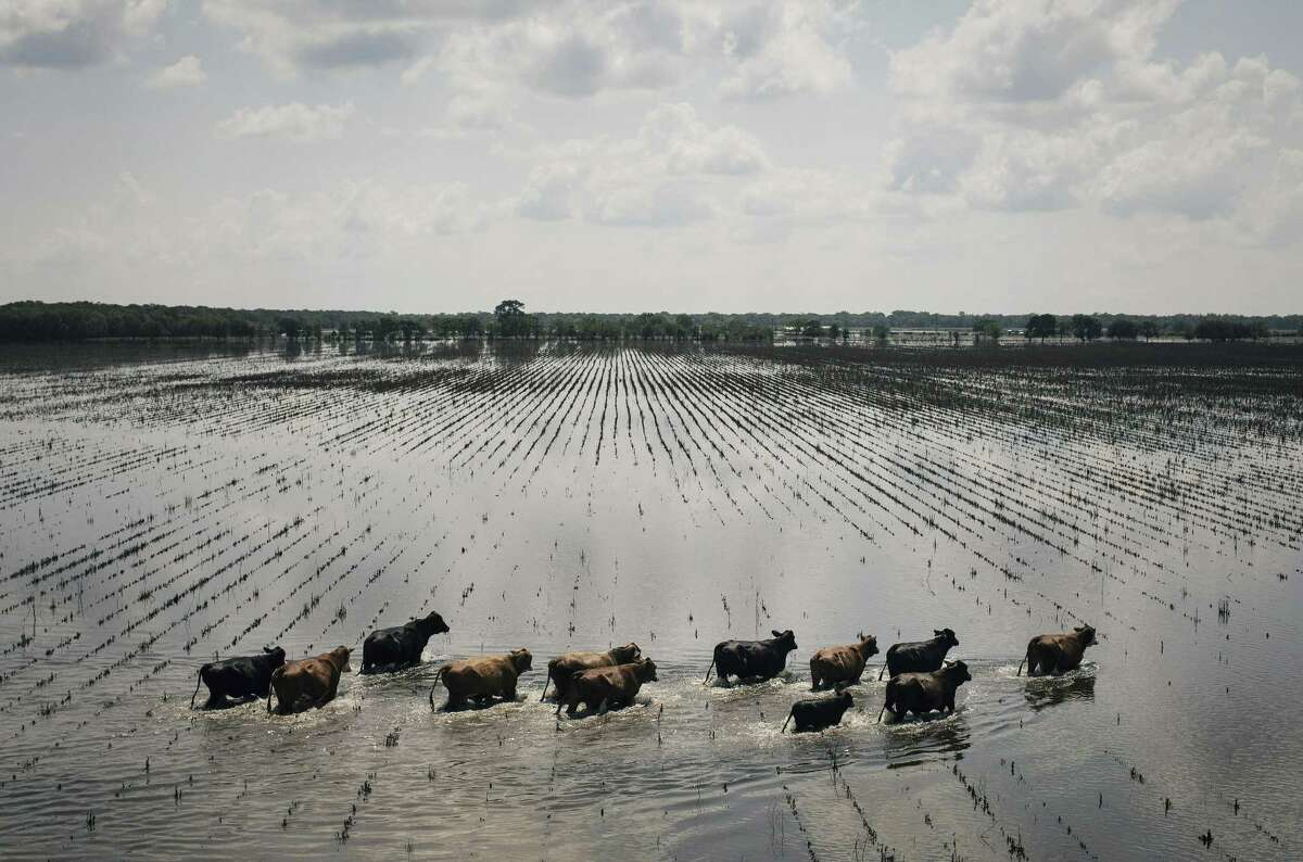 An aerial view of cattle running through floodwaters on ranch land south of Damon on Saturday. About 71 companies have pledged at least $1 million toward Harvey relief efforts.