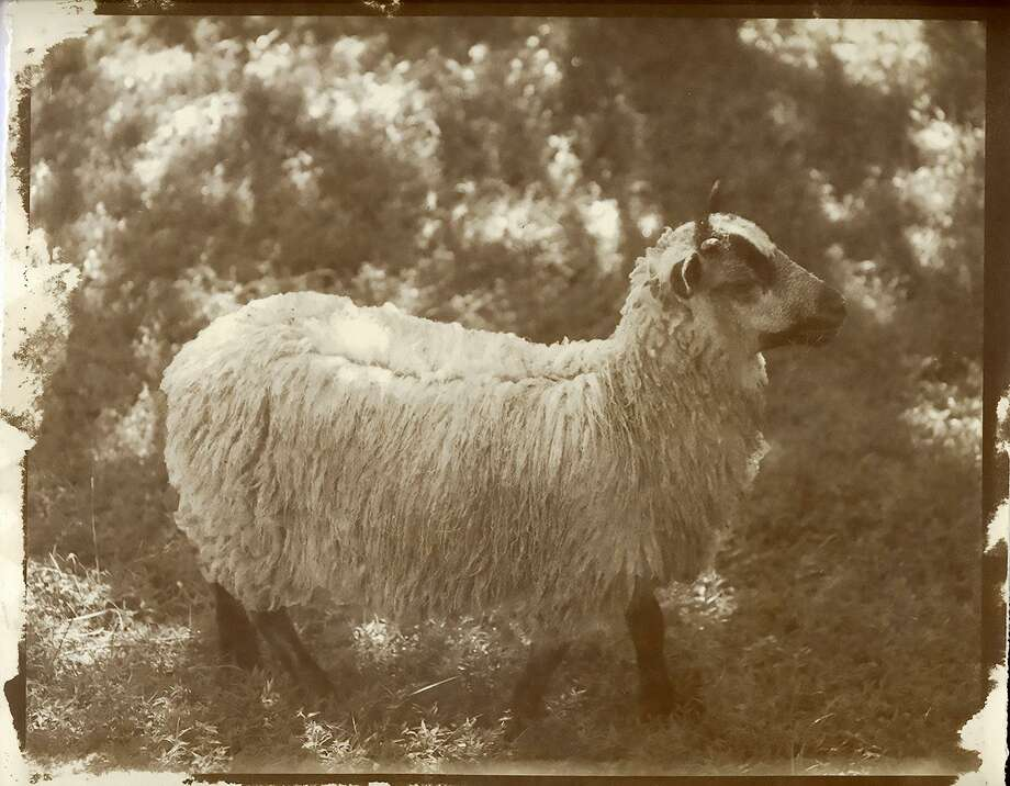 """Shetland Sheep I"" (Albumen print) by Pam Rouleau Photo: Contributed Photo / Photo By Pam Rouleau / ©Pam Rouleau - All Rights Reserved"