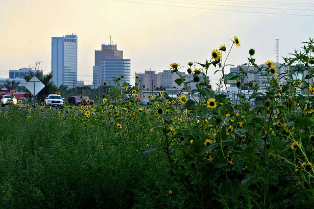 Wildflowers grow next Business 80 and the railroad tracks east of downtown Midland on Wednesday, August 12, 2015. James Durbin/Reporter-Telegram