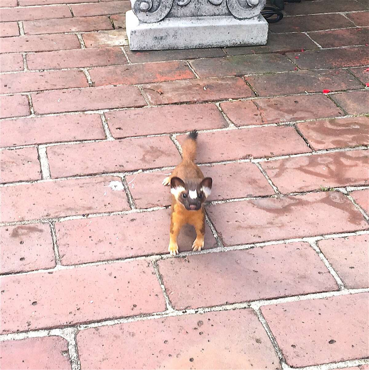 A rare California long-tailed weasel appeared in the courtyard at the Filoli Estate, a property of the National Trust for Historic Preservation, in Woodside on the Peninsula.