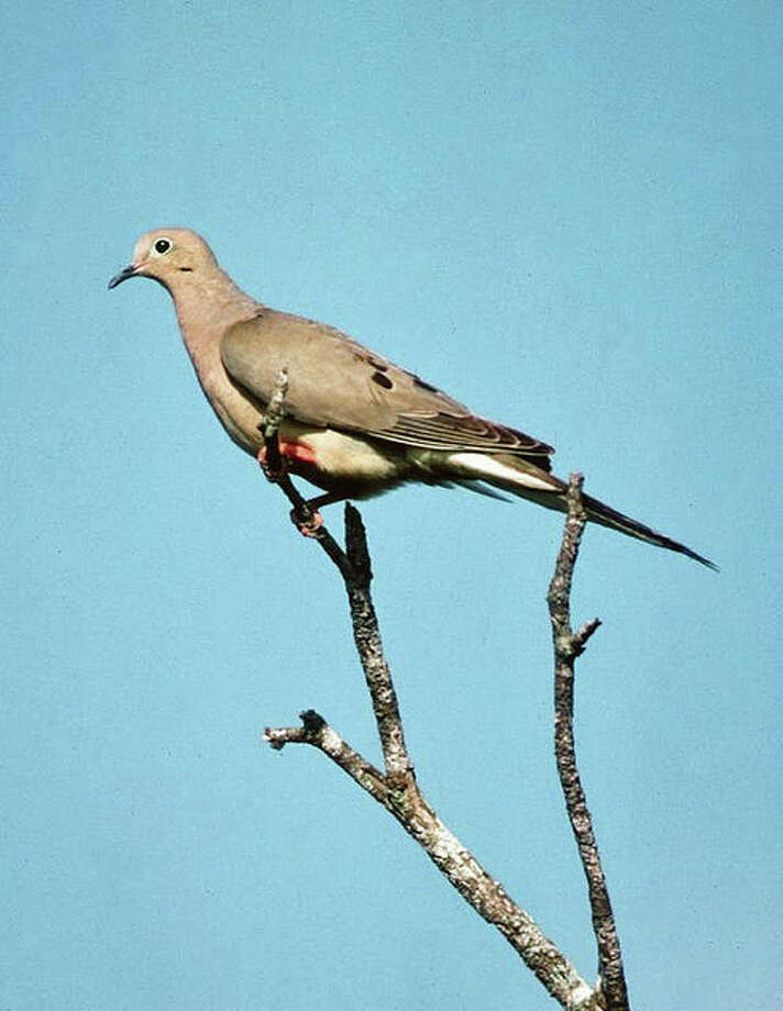 A mourning dove is a pretty bird, fun to hunt, hard to hit, and delicious table fare. Photo: Photo By TPWD