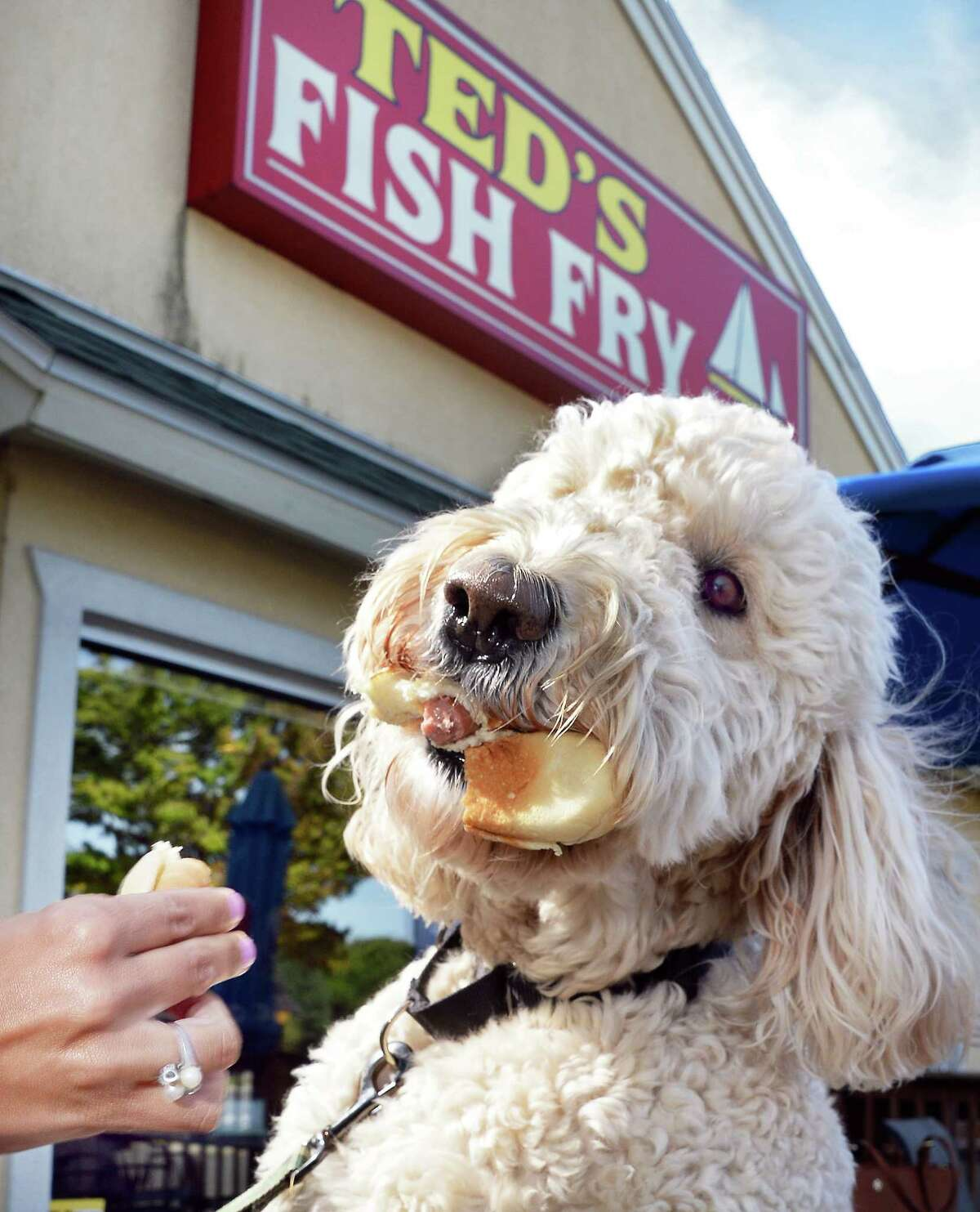 Labradoodle Buddy gets a taste of a hot dog from owner Deanna Deeb-DeBonis at Ted's Fish Fry on Wolf Road Friday Sept. 1, 2017 in Colonie, NY. (John Carl D'Annibale / Times Union)