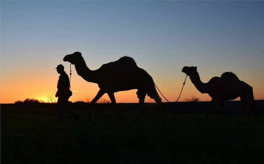 The Texas Camel Corps was created to provide education about the use of camels in the U.S. Army experiment in the 1850s. Photo: John Cobb /Texas Camel Corps