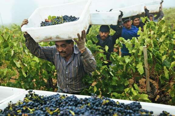 Martin Rangel, left, leads a group of grape pickers to drop off their yield at the Limerick Lane Vineyard in Healdsburg, California on Tuesday, August 30, 2017.