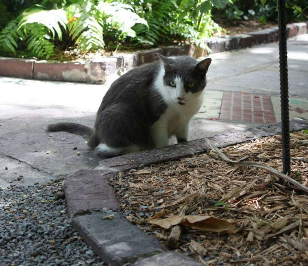 cats at ernest hemingway home in key west to weather hurricane
