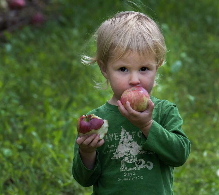 Nora Breen, 3, seems to be having a tough time figuring out which apple to eat first while apple picking with her family at the Indian Ladder Farms on Thursday, Sept. 7, 2017, in Altamont, N.Y. (Skip Dickstein/Times Union)