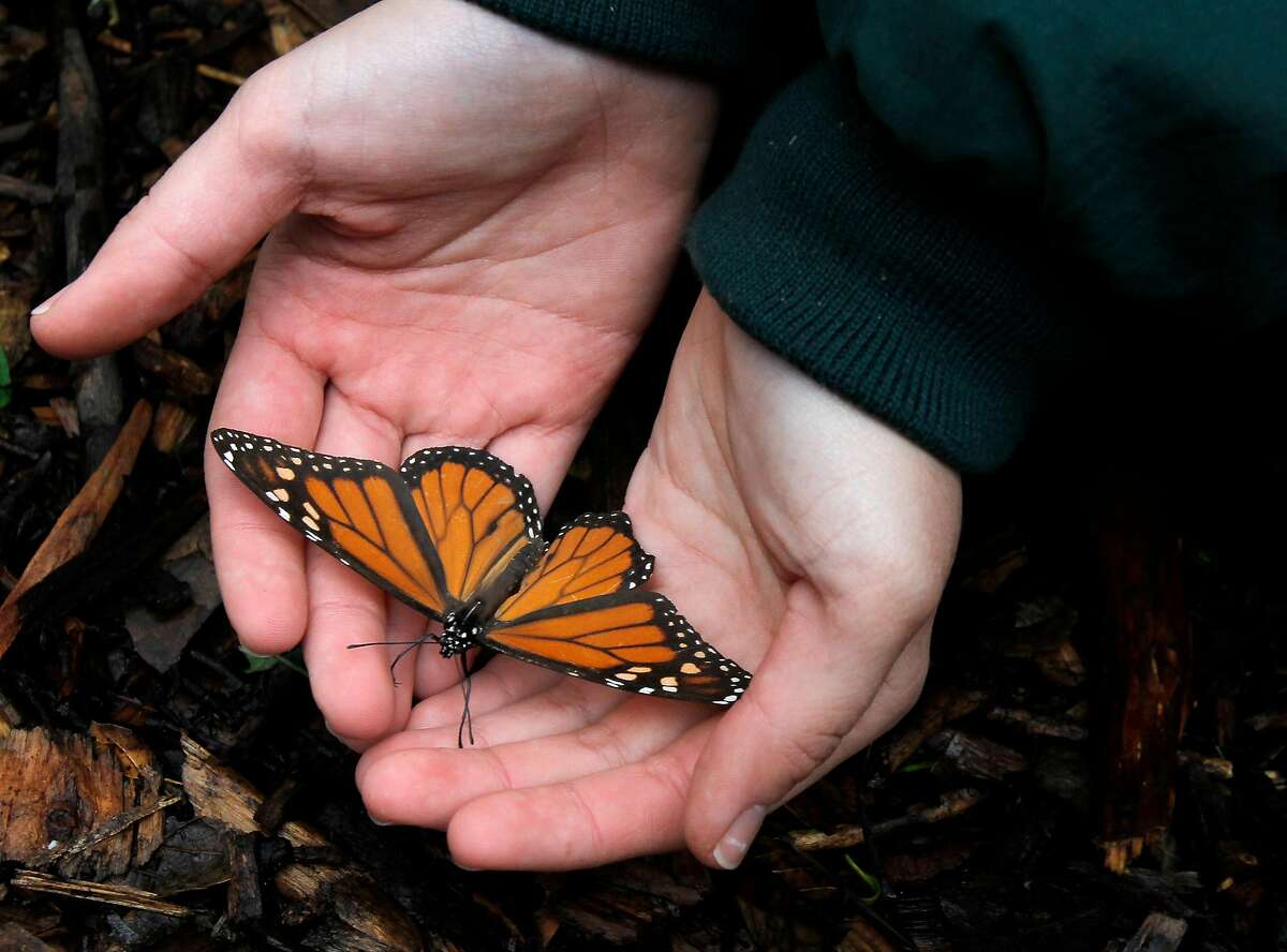 A struggling Monarch butterfly is picked from the ground beneath a eucalyptus tree where it had fallen. At the Ardenwood Historic Farm in Fremont, Calif. hundreds of mysterious wintering Monarch butterflies are coping with a cold winter Sunday January 6, 2013.