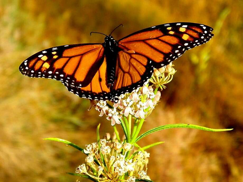 A Monarch butterfly lands on blooming wildflower on spring day on flank of Mount Diablo Photo: Tom Stienstra, Brian Murphy / Special To The Chronicle