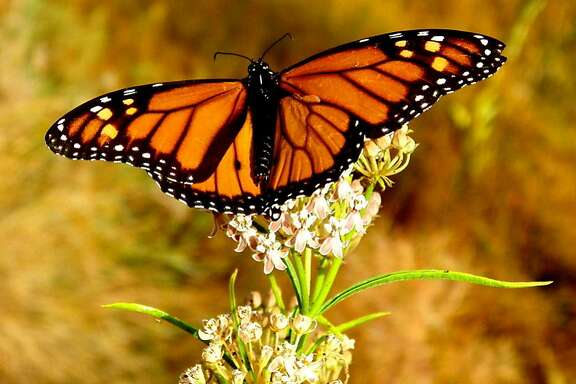 A Monarch butterfly lands on blooming wildflower on spring day on flank of Mount Diablo
