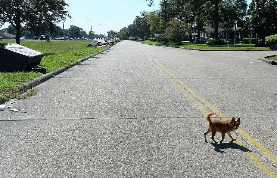 A dog crosses Memorial Boulevard in Port Arthur Thursday. Photo taken Thursday, September 7, 2017 Kim Brent/The Enterprise Photo: Kim Brent / BEN