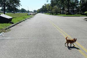 A dog crosses Memorial Boulevard in Port Arthur Thursday. Photo taken Thursday, September 7, 2017 Kim Brent/The Enterprise