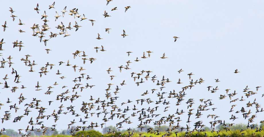 Blue-winged teal arriving on Texas' coast are finding marshes and prairies awash with wetlands, a result of record-setting rains and flooding from Hurricane Harvey. But that flooding has forced many public hunting areas to close ahead of the Sept. 9 opening of the state's 16-day teal hunting season. Photo: Shannon Tompkins/Houston Chronicle
