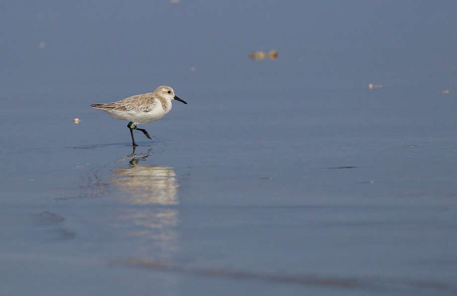 Migratory shorebirds, like this sanderling, can be seen at the Bolivar Flats Shorebird Sanctuary this time of year. Photo: Kathy_Adams_Clark / Kathy Adams Clark/KAC Productions