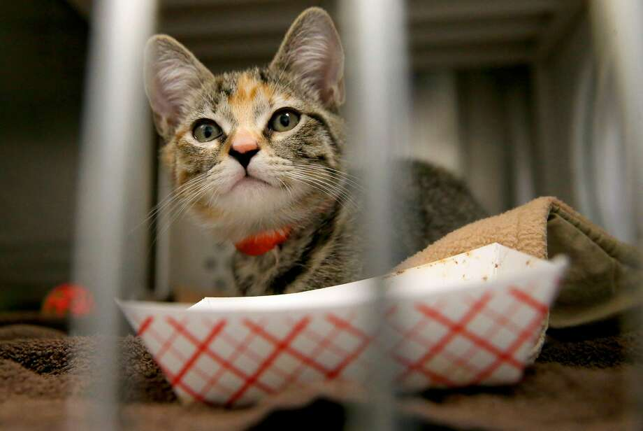 "GALLERY: Animals rescued from hurricanes now up for adoption in Bay Area""Nala Jr."" is one of 25 cats and 15 dogs that were airlifted out of Florida with Hurricane Irma approaching the mainland, and brought to the Oakland SPCA in Oakland, Ca., as seen on Fri. September 8, 2017. Photo: Michael Macor, The Chronicle"