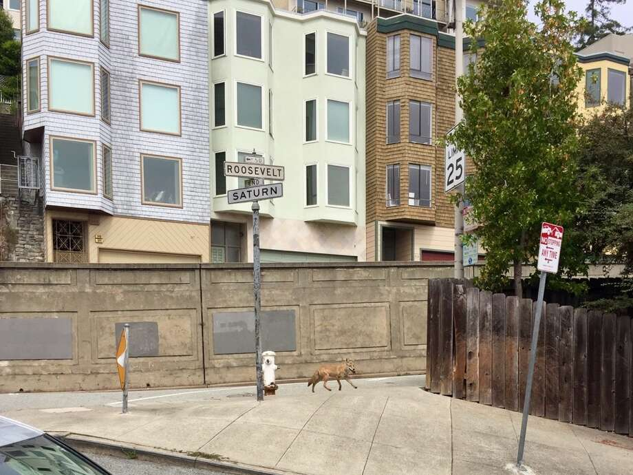 A coyote was spotted just before noon today at the corner of Roosevelt and Saturn streets in Corona Heights. Photo: Patrick M./Hoodline Tipline