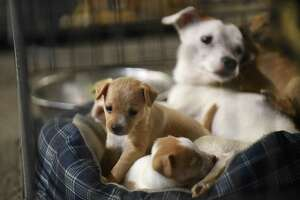 Puppies and their mother are being cared for at the emergency animal shelter set up in the secure area at Freeman Coliseum by Animal Care Services on Sunday, Aug. 27, 2017. The pets belong to a family who evacuated their home because of Hurricane Harvey.