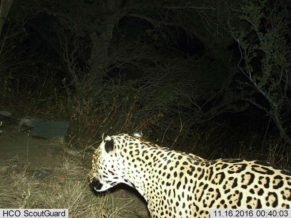 FILE - This photo provided by the U.S. Fish and Wildlife Service shows a Jaguar photographed by a motion-detection camera in the Dos Cabezas Mountains in southern Arizona. The cat likely cross the U.S./Mexico border, something a border wall would prevent.