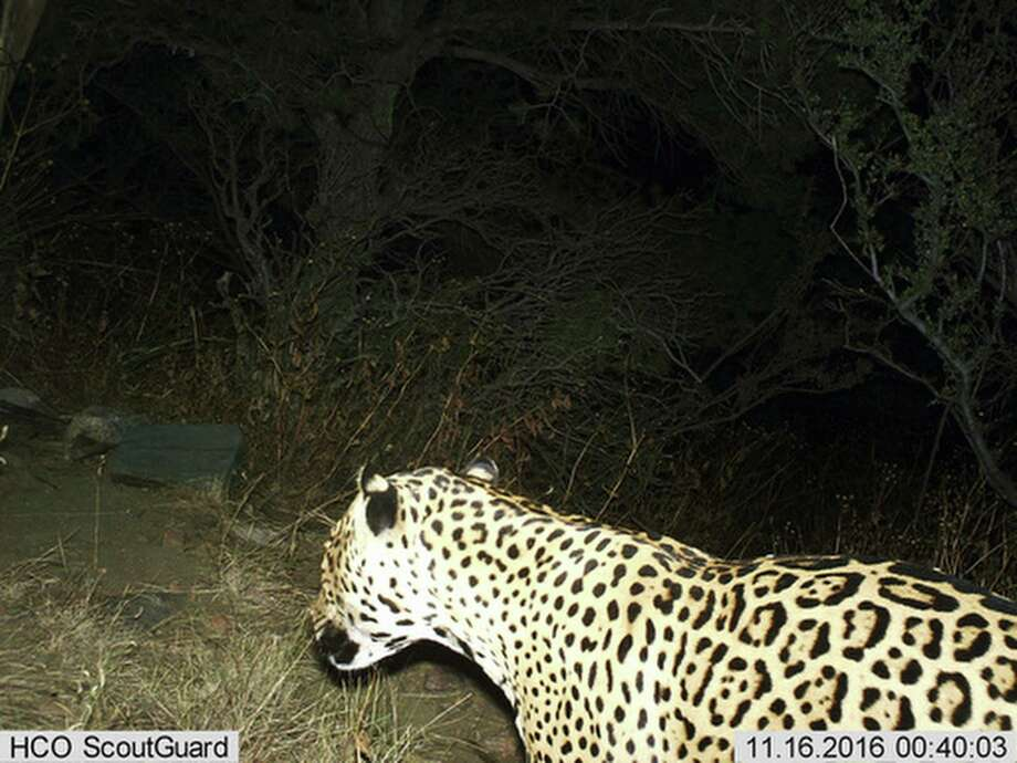 FILE - This photo provided by the U.S. Fish and Wildlife Service shows a Jaguar photographed by a motion-detection camera in the Dos Cabezas Mountains in southern Arizona. The cat likely cross the U.S./Mexico border, something a border wall would prevent. Photo: Bureau Of Land Management /AP / online_yes