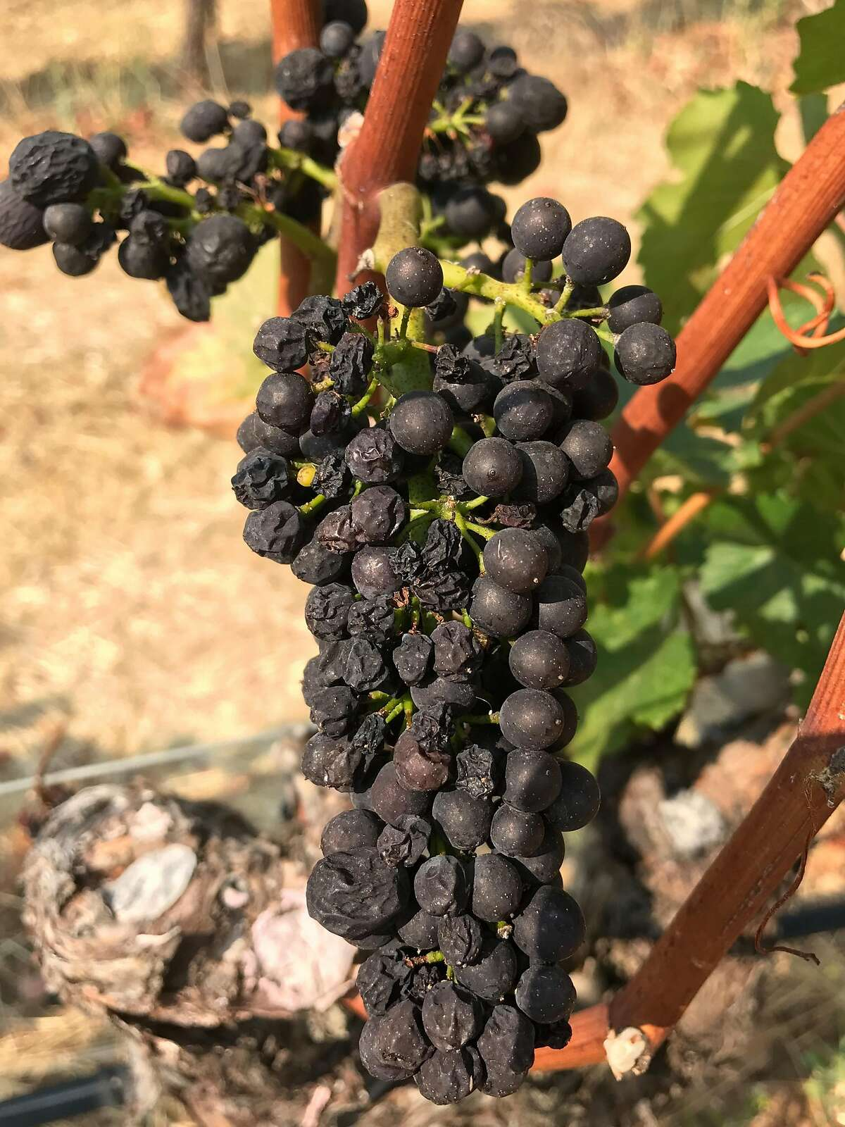Wine grapes that shriveled from the heat at Hirsch Vineyards.