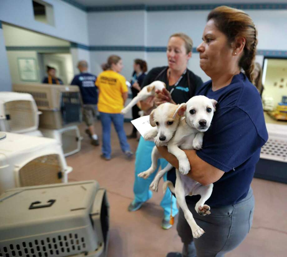 SPCA employee Rebecca Rodriguez loads up two puppies, as employees and volunteers of the Houston SPCA load up more than 100 adoptable dogs and cats into a truck with the help of the Austin Humane Society and others, Thursday, Aug. 31, 2017, in Houston, to be sent to Atlanta, to make room for an onslaught of animal Tropical Storm Harvey victims. ( Karen Warren / Houston Chronicle ) Photo: Karen Warren, Staff Photographer / @ 2017 Houston Chronicle