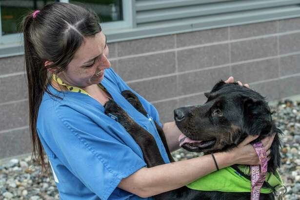 R.J. a four year old lab hangs out with staffer Desiree Ulmer September 8, 2017 at the Mohawk Hudson Humane Society in Menands, N.Y.  the day after he arrived from Rhode Island with a large number of other dogs that were already in housed in animal shelters in Texas when hurricane Harvey hit.  (Skip Dickstein/Times Union)