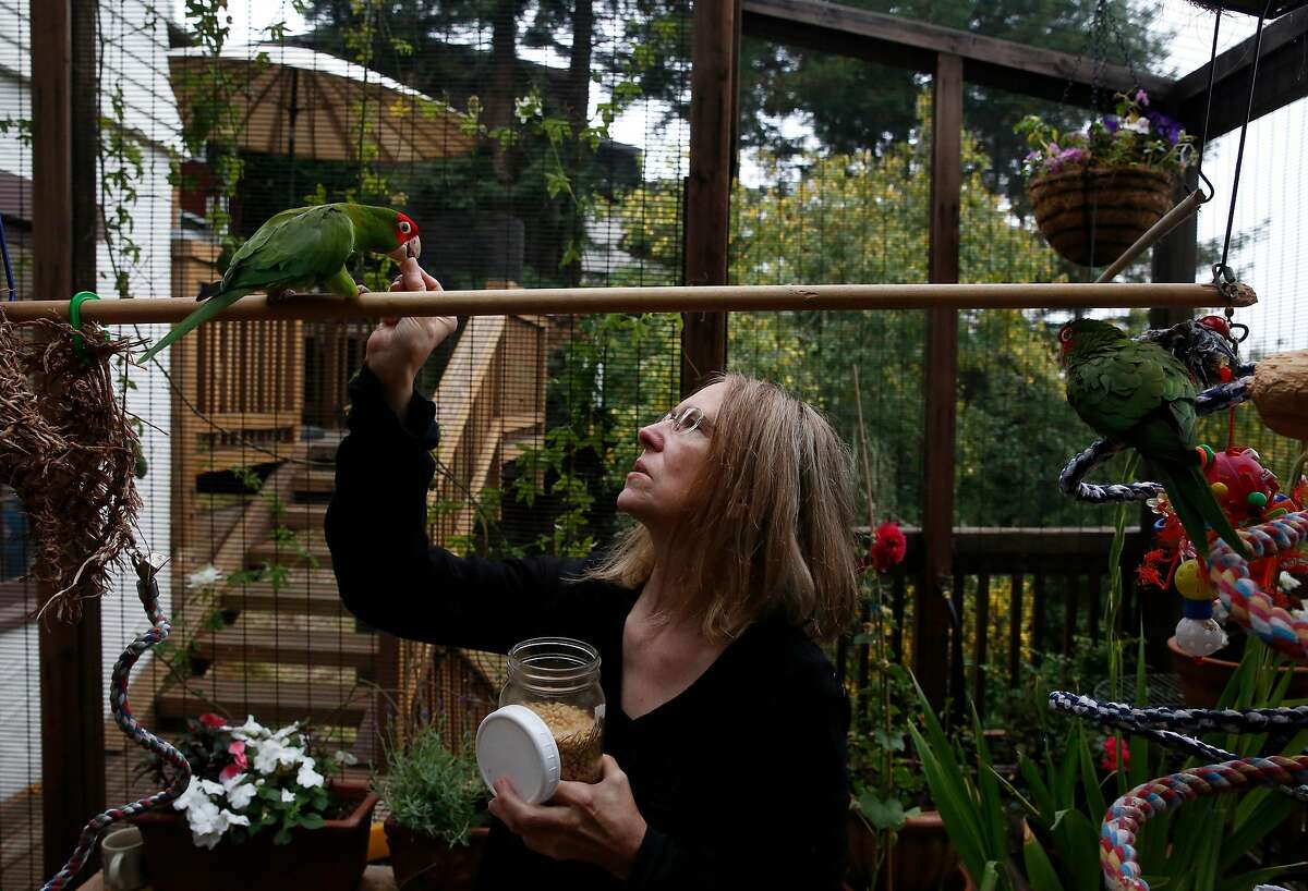 Chloe Redon gives her foster bird Spencer a treat as her personal bird Hancock watches at right in the aviary in her home August 9, 2017 in San Francisco, Calif. Redon is a volunteer for Mickaboo and has been fostering cherry-headed, mitred conure hybrids from the San Francisco parrot flock for years.