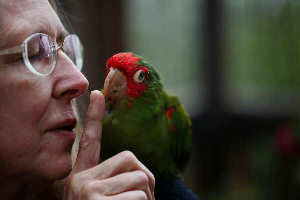 Telegraph Hill parrot flock squawks on, now 300 strong