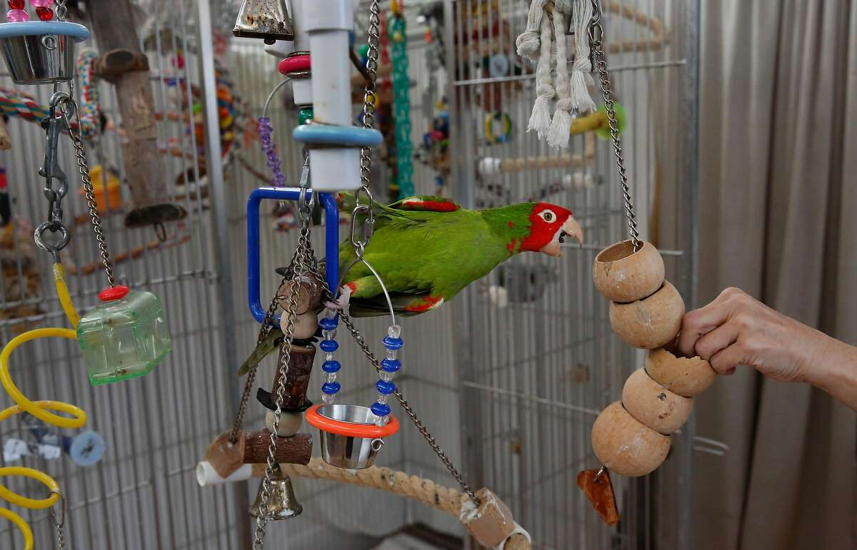 Walter, a foster bird of Chloe Redon reaches for a treat in Redon's home August 9, 2017 in San Francisco, Calif. Redon is a volunteer for Mickaboo and has been fostering cherry-headed, mitred conure hybrids from the San Francisco parrot flock for years.