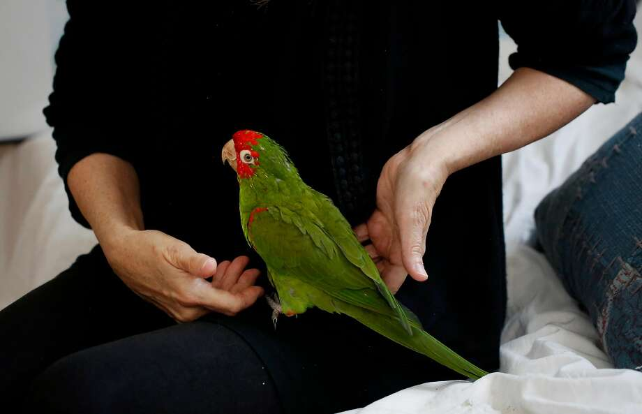 Chloe Redon handles her personal bird Hancock in her Berkeley home. Photo: Leah Millis, The Chronicle