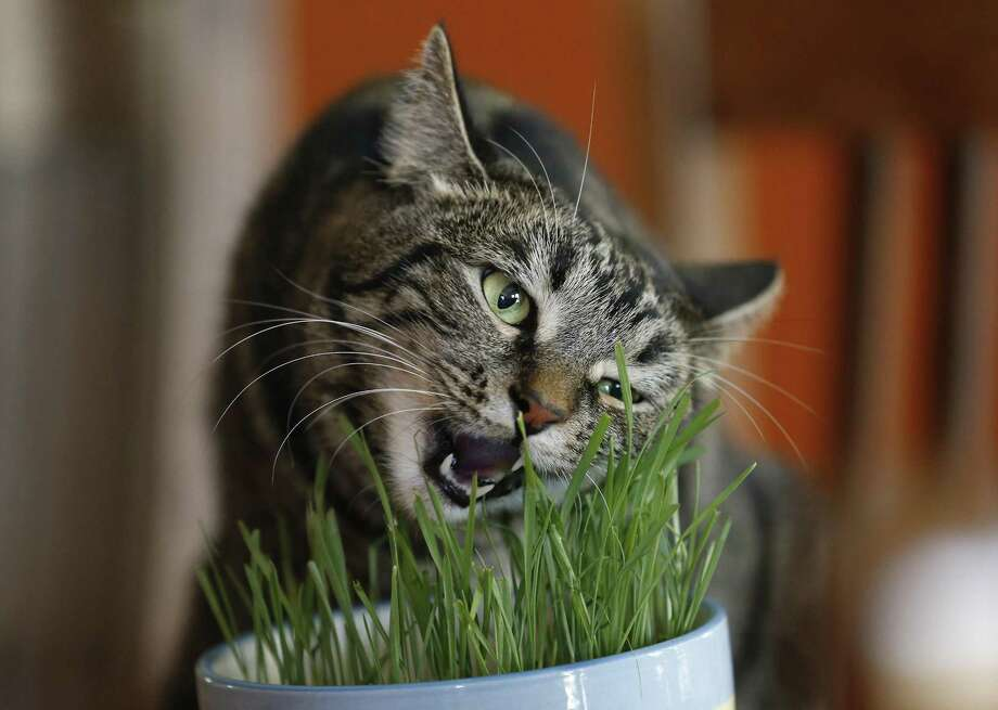 Namibia chews on cat grass at the Cowboy Cat Ranch, also the home of research scientist Sebastiaan Bol. Photo: Kin Man Hui /San Antonio Express-News / ©2017 San Antonio Express-News