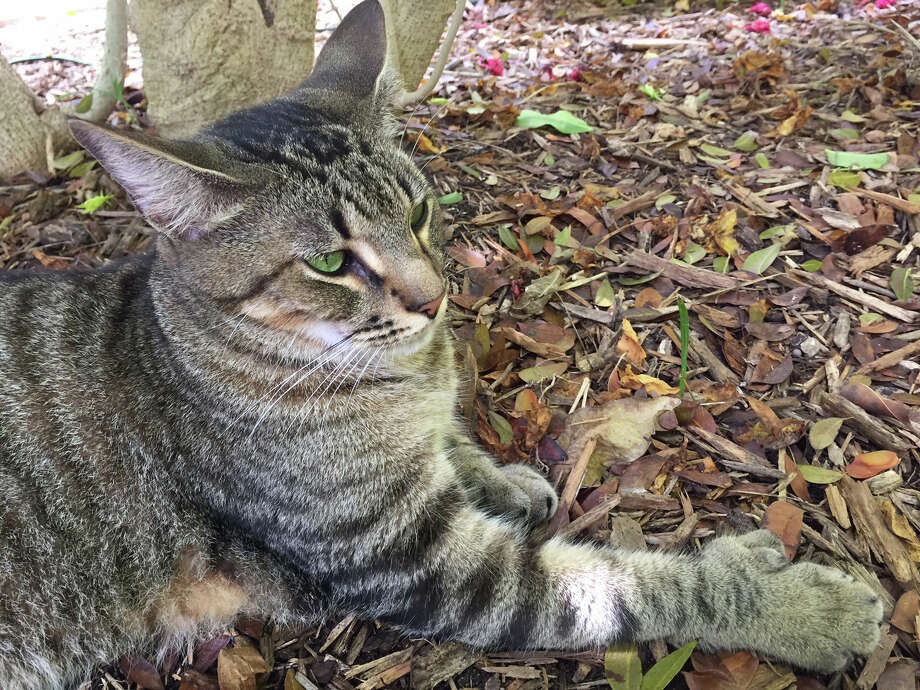 A six-toed cat at the Hemingway Home and Museum in Key West, Fla., in April. Photo: Karin Brulliard. / The Washington Post
