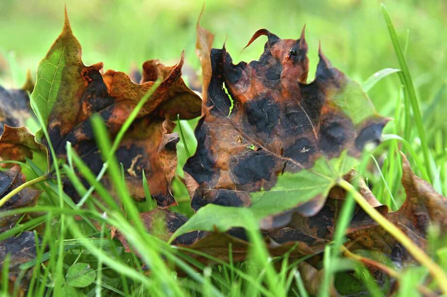 "Maple leaves with a fungus known as tar spot"" disease are seen on the ground under a Maple tree at Albany Rural Cemetery on Monday, Sept. 11, 2017 in Menands, N.Y. (Lori Van Buren / Times Union) Photo: Lori Van Buren, Albany Times Union / 40041516A"