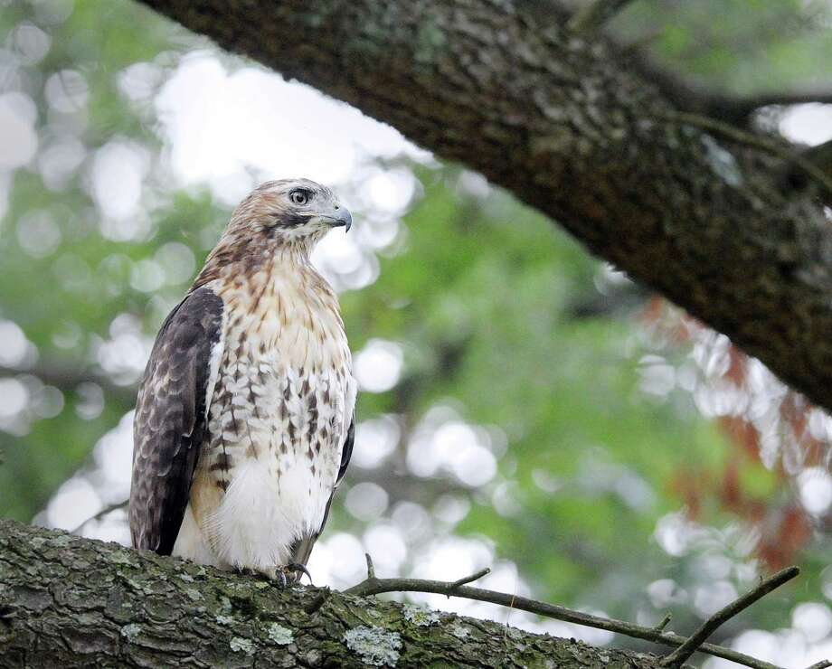 A red-tailed hawk perched on the limb of a pine tree in St. Mary's Cemetery in Greenwich, Conn., Wednesday, Aug. 2, 2017. Photo: Bob Luckey Jr. / Hearst Connecticut Media / Greenwich Time