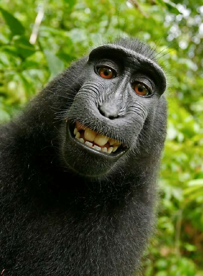 A San Francisco federal judge ruled Wednesday that an Indonesian monkey that took a selfie with an unattended camera does not own the copyright to the image. Photo: Naruto /
