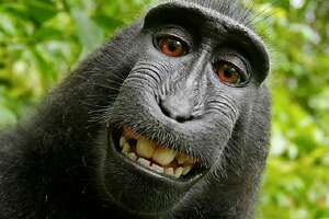 A San Francisco federal judge ruled Wednesday that an Indonesian monkey that took a selfie with an unattended camera does not own the copyright to the image.