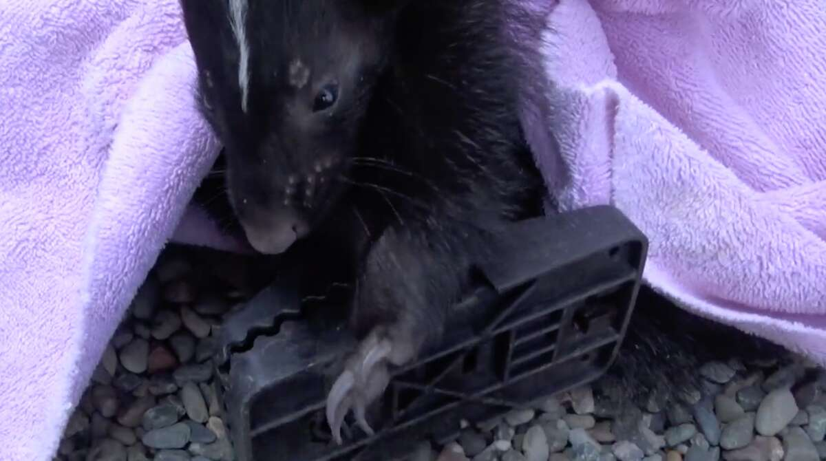 The skunk was trapped in not one, but two rat traps set outdoors.