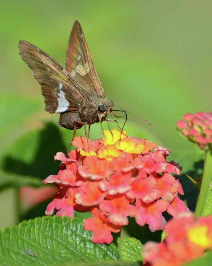 Silver-spotted skipper (Cheryl McMahan)