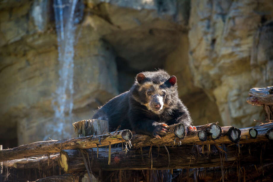 The Houston Zoo is in mourning following the sad news that one of its beloved animals has passed away. Patty, a 31--year-old Andean bear, was euthanized after it was discovered that she was suffering from an aggressive form of cancer, according to the Houston Zoo. See images from the zoo's current kid-friendly exhibit...  Photo: Houston Zoo
