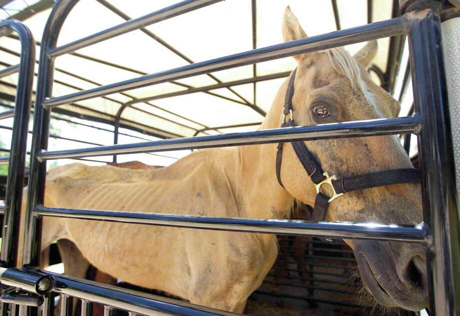 Houston SPCA volunteers transport the most critical horses in need of veterinary care from the Calico Dairy in 2015. Photo: Jason Fochtman / Internal