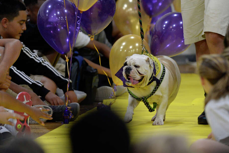 Penelope is walked out during the annual bulldog beauty contest to determine the mascot for the class of 2021 Sept. 13, 2017, at Midland Freshman High School   James Durbin/Reporter-Telegram Photo: James Durbin