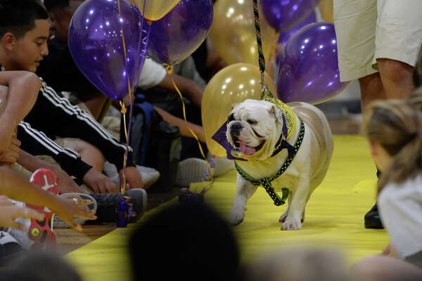 Penelope is walked out during the annual bulldog beauty contest to determine the mascot for the class of 2021 Sept. 13, 2017, at Midland Freshman High School   James Durbin/Reporter-Telegram
