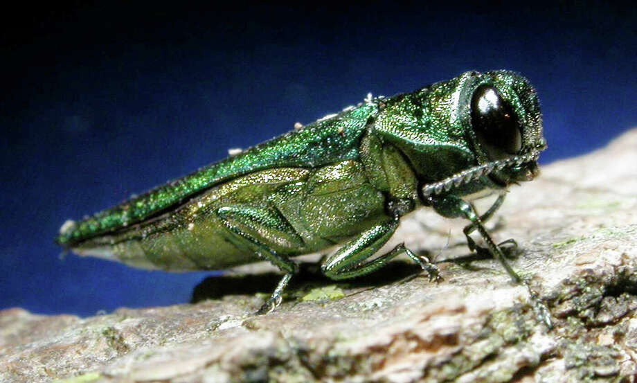 ** FILE ** An adult emerald ash borer is shown in this photo released by Michigan State University. Insect experts are telling people in not to bother treating their ash trees for the destructive insect called the emerald ash borer. If signs of infestation begin to show, entomologists will recommend that areas be quarantined and the ash trees removed, said Phil Nixon, a University of Illinois entomologist. (AP Photo/Michigan State University, File) ** NO SALES ** Photo: David Cappaert / MICHIGAN STATE UNIVERSITY