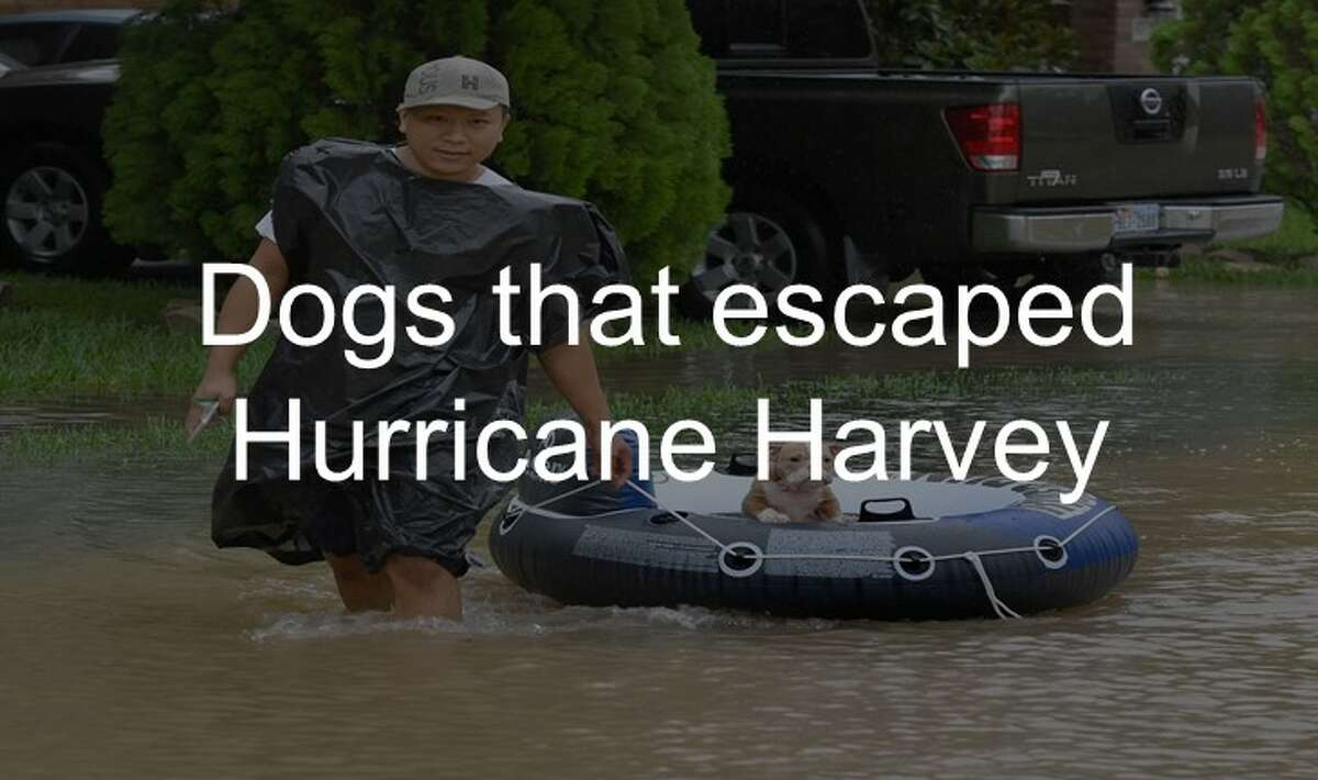 Dogs that escaped Hurricane Harvey transition