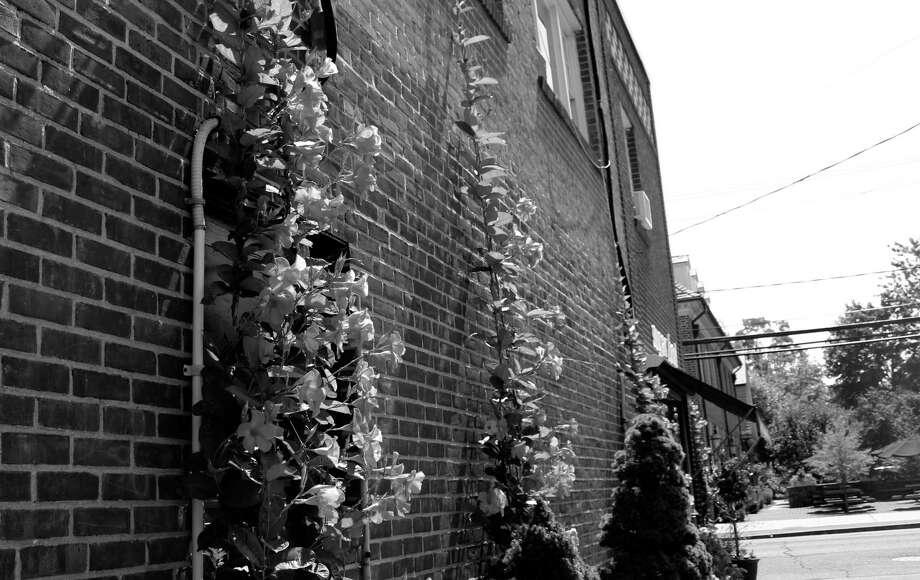 Ivy climbs up the wall of a downtown Darien business. Photo: Erin Kayata / Hearst Connecticut Media / Darien News