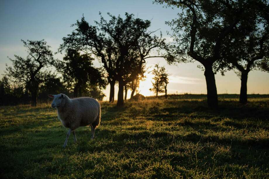 A sheep is pictured in Dresden, eastern Germany, on Sept. 4. Sometimes the chancest of encounters can change a person's entire perspective. Photo: ARNO BURGI /AFP /Getty Images / DPA