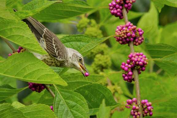The American beautyberry feeds over 40 species of birds, including this mockingbird that just plucked a ripe fruit.