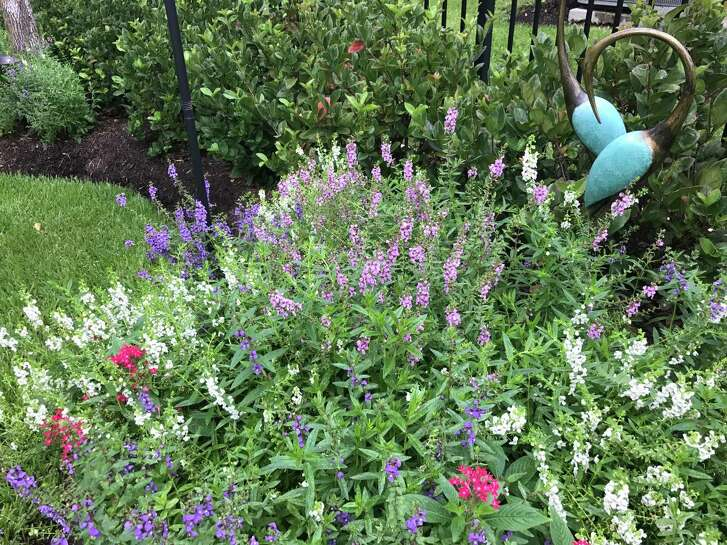 Patricia Gail Bray's pentas and angelonia are blooming in herMissouri City garden.