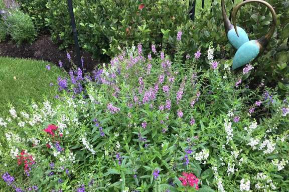 Patricia Gail Bray's pentas and angelonia are blooming in her Missouri City garden.