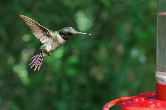 Learn about hummingbirds in a class by Jim Maas, Pat Cordray and Jean Griffin at Maas Nursery.